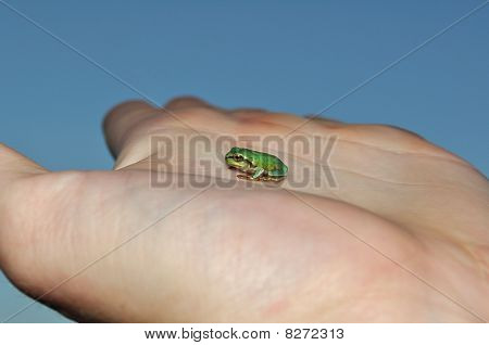 Little green European tree frog on hand