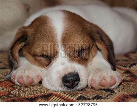 Small Crossbreed Puppy