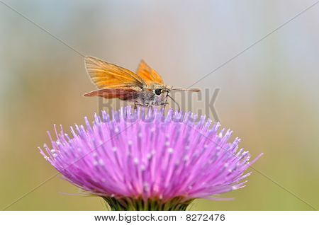Orange butterfly eating honey dew on welted thistle