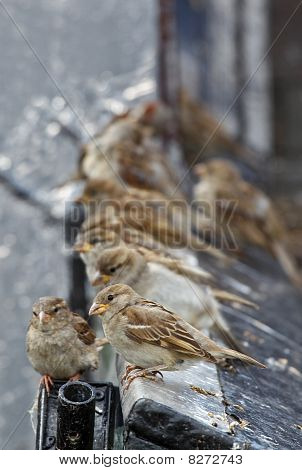 Sparrows sitting on a roof