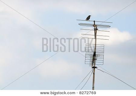 Bird On An Aerial
