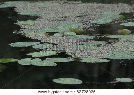 Duckweed And Pond-lily