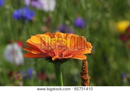Orange Daisy