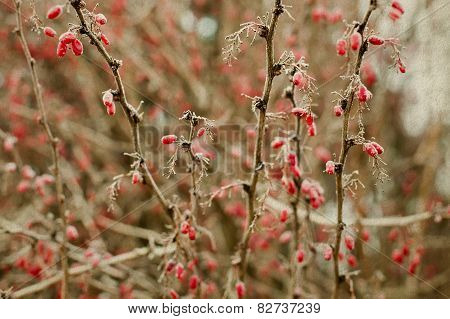 Winter Nature Landscape. Red Berries. Cotoneaster Branch With Berries. Frozen. Soft Focus. Vintage P
