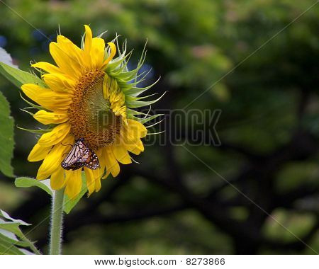 Monarch sunflower