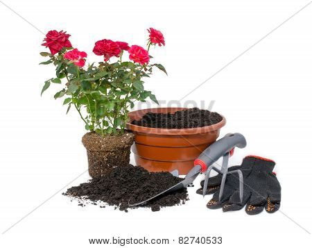 shrub roses and garden tools