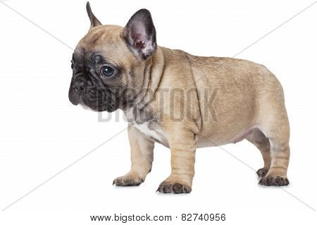 One Month Old French Bulldog Puppy