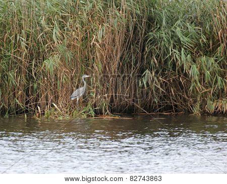 Gray Heron In Reed