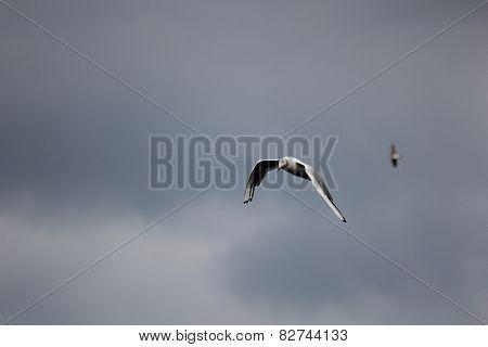 Flying Black-headed Gull