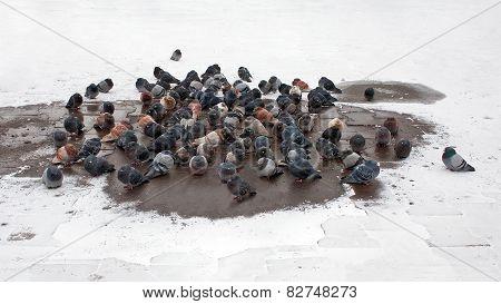 Pigeons Bask