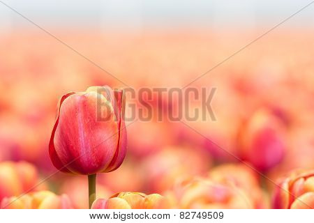 Orange Tulip With Selective Focus In The Netherlands