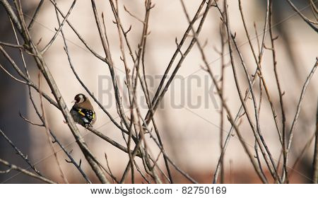 Goldfinch From Behind