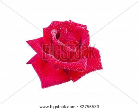 Rose with dew drops