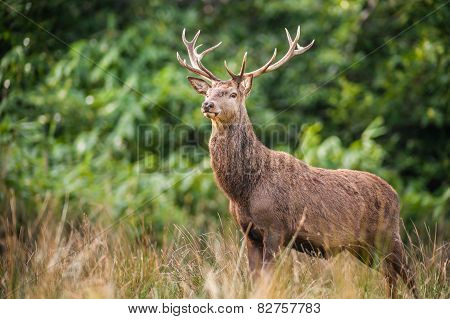 stag deer standing tall