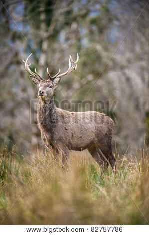 large majestic red deer