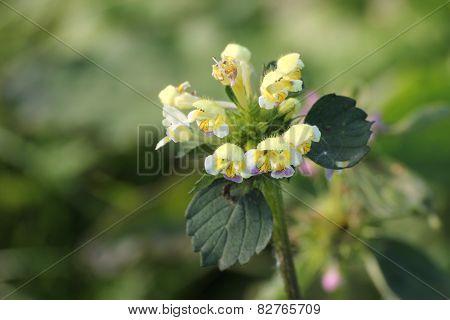 Hemp-nettle Blossoms