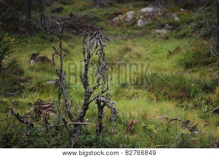 Dead Plants In Bog