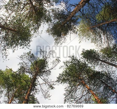 Great Pines