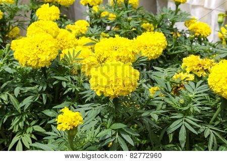 Yellow Marigold Flower In The Garden