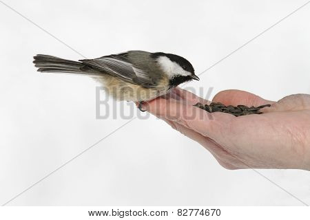 Chickadee Eating Seeds From a Hand
