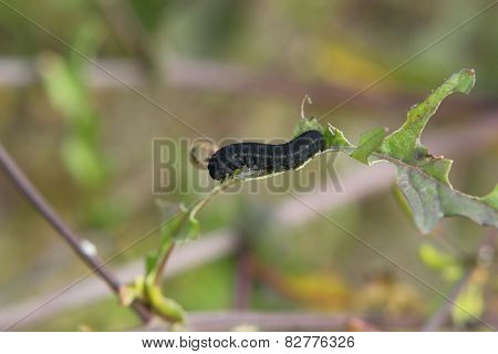Larva On Yellowcress