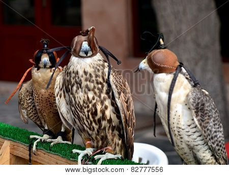 Hunting Falcons, Abu Dhabi, United Arab Emirates