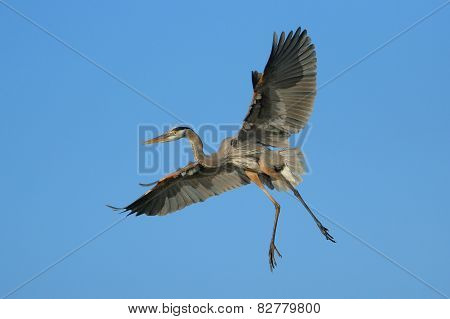 Great Blue Heron Flying In Blue Sky