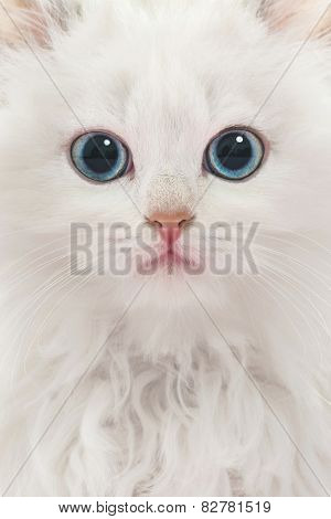 Portrait Of Young White Cat