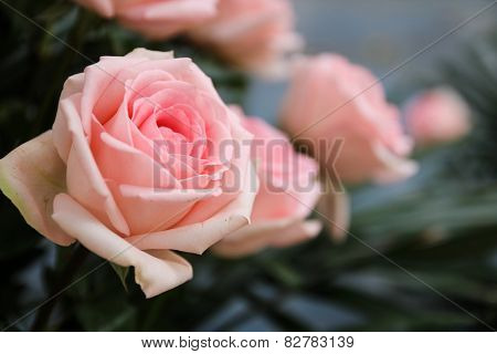Pink Roses With Blue Background