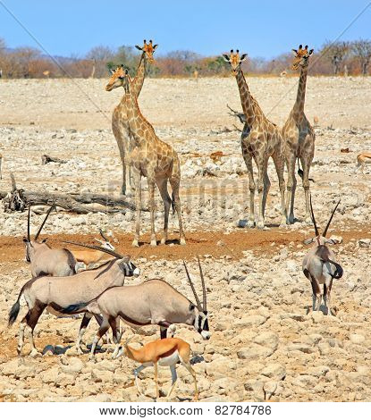 Etosha scene with giraffe oryx and springbok