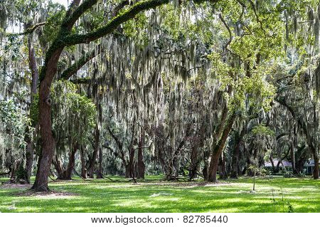 Spanish Moss Over Green Grass