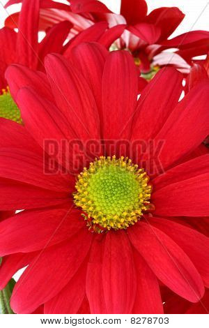 Closeup Of Red Daisy Chrysanthemum
