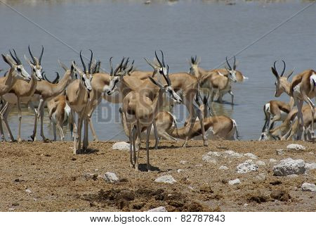 Herd of impalas