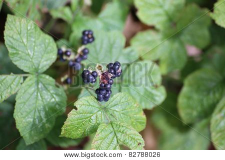 European Dewberries