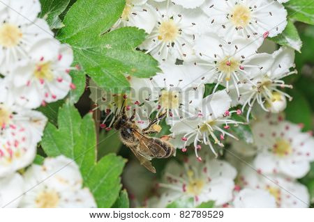 Bee gathers honey at cherry blossoms