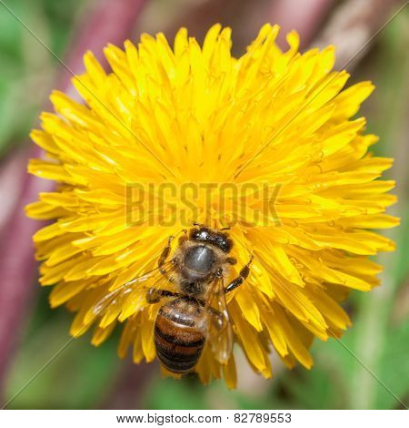 Bee gathers honey at dandelion