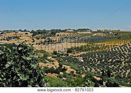 Olive groves, Ubeda.