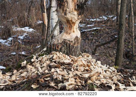 Beaver Track