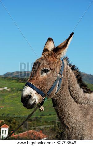 Tethered donkey.