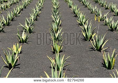 Aloe Vera Field, Lanzarote Island, Canary Islands, Spain