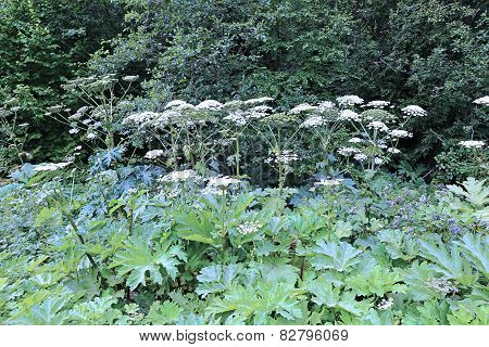 Thickets Of Flowering Plants Hogweed