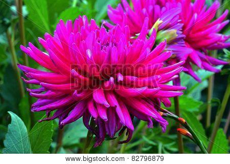 beautiful dahlia flowers in garden