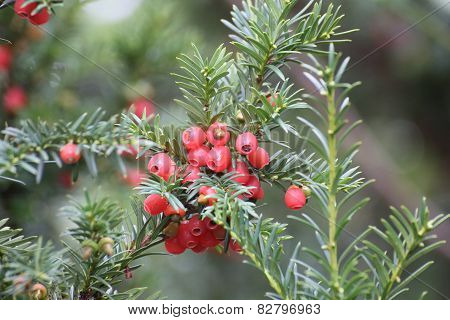 Yew Fruits
