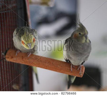 Cockatiel Couple