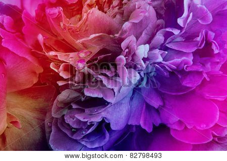 Rainbow peony background