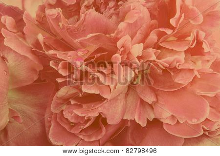 Orange peony background