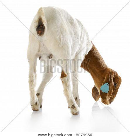 Backside Of A Goat Doeling