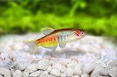 picture of freshwater fish  - Glowlight Danio Danio choprai freshwater aquarium fish - JPG