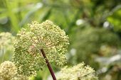 picture of century plant  - Umbel with seeds of a wild angelica  - JPG