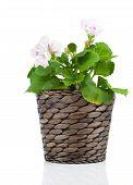 pic of geranium  - Royal Pelargonium  - JPG